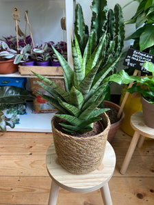 Sansevieria comet Queen Marble - Snake Plant