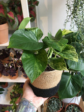 Load image into Gallery viewer, Scindapsus Marble Queen 12cm Pot - Marbled Pothos