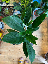 Load image into Gallery viewer, Spathiphyllum Sweet Sebastiano - *Local Pick Up Only*