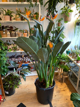 Load image into Gallery viewer, Strelitzia reginae - *Local Pick Up Only*