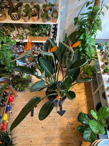 Strelitzia reginae - *Local Pick Up Only*