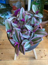 Load image into Gallery viewer, Tradescantia albiflora Nanouk - *Local Pick Up Only*