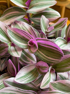 Tradescantia albiflora Nanouk - *Local Pick Up Only*