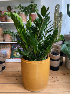Zamioculcas zamiifolia - *Local Delivery or Local Pick Up Only*