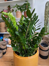 Load image into Gallery viewer, Zamioculcas zamiifolia - *Local Delivery or Local Pick Up Only*