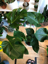 Load image into Gallery viewer, Monstera deliciosa 21cm Pot - *Local Pick Up Only*