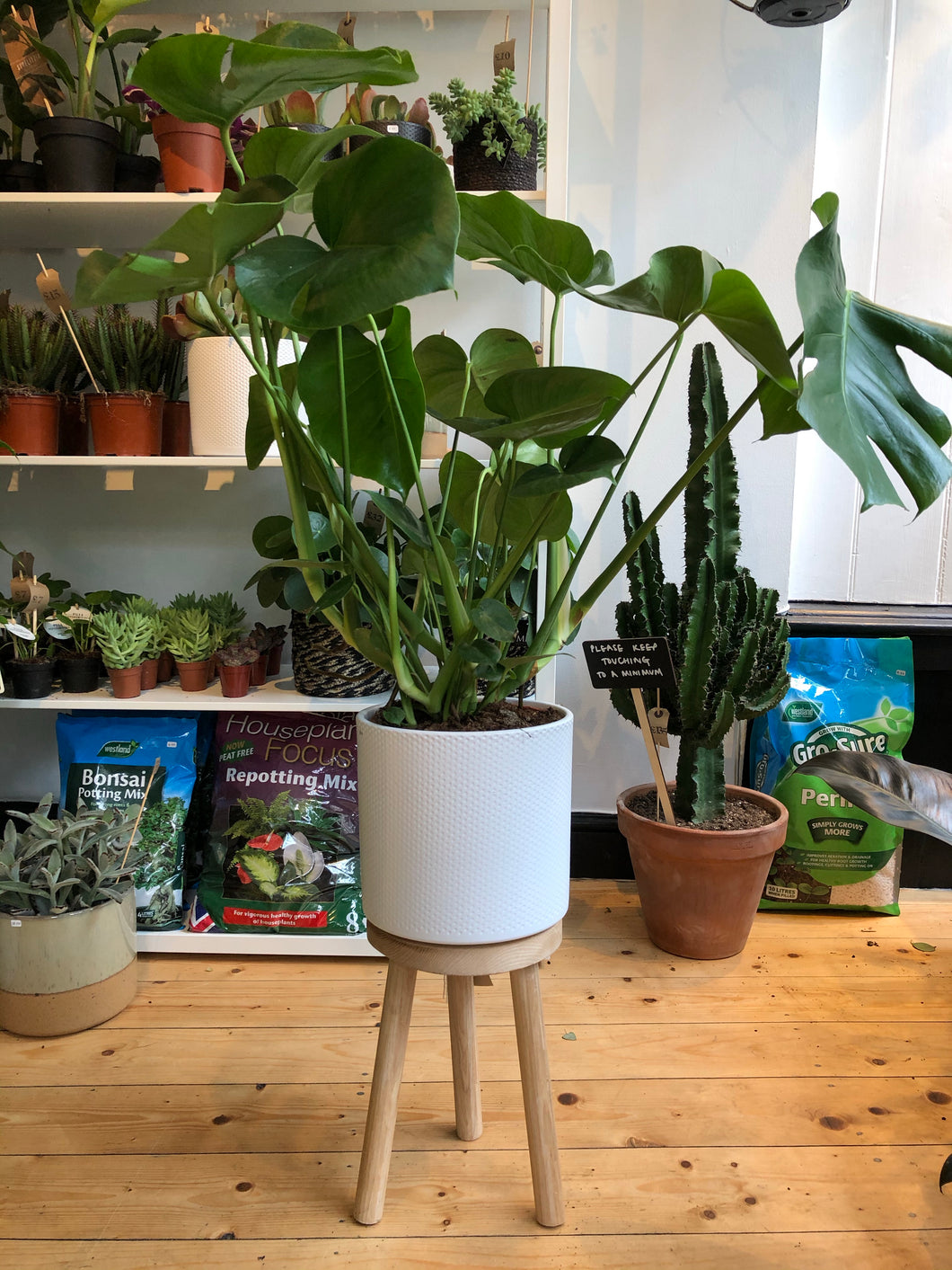 Monstera deliciosa 21cm Pot - *Local Pick Up Only*