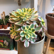 Load image into Gallery viewer, Aeonium Sunburst - LOCAL PICK UP ONLY