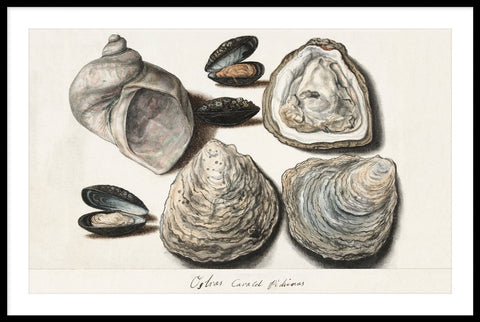 Vintage Oysters, Mussels and Moon Horn by Anonymous