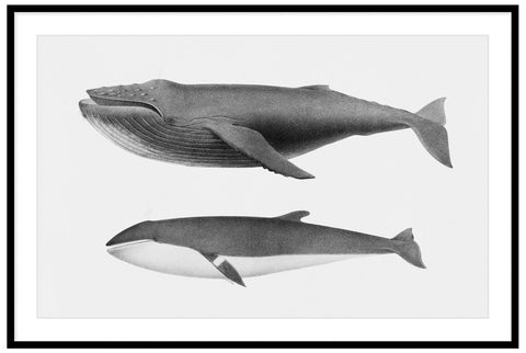 Vintage Humpback and Minke Whale Illustration