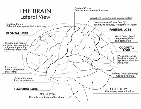 Printable labelled lateral view of the brain showing lobes, areas and characteristics of each