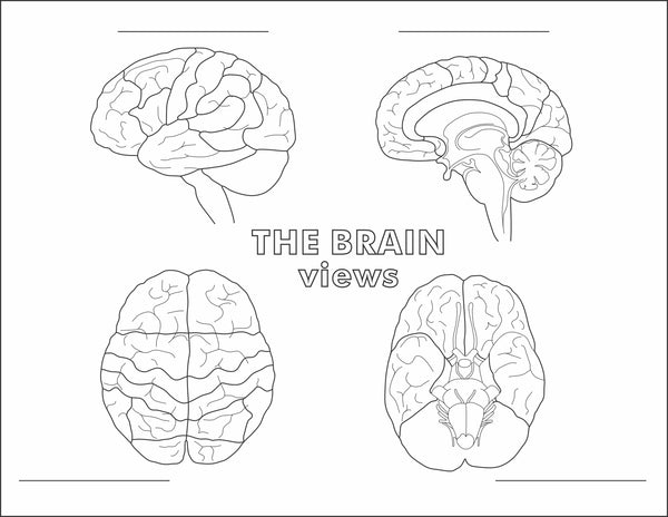 Four views of the brain, lateral, sagittal, superior and inferior fill in the blanks worksheet