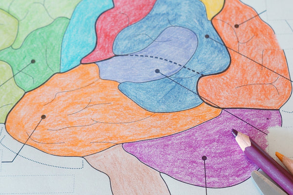 Coloured pencils and cut out labels on top of a coloured in lateral view diagram of the brain