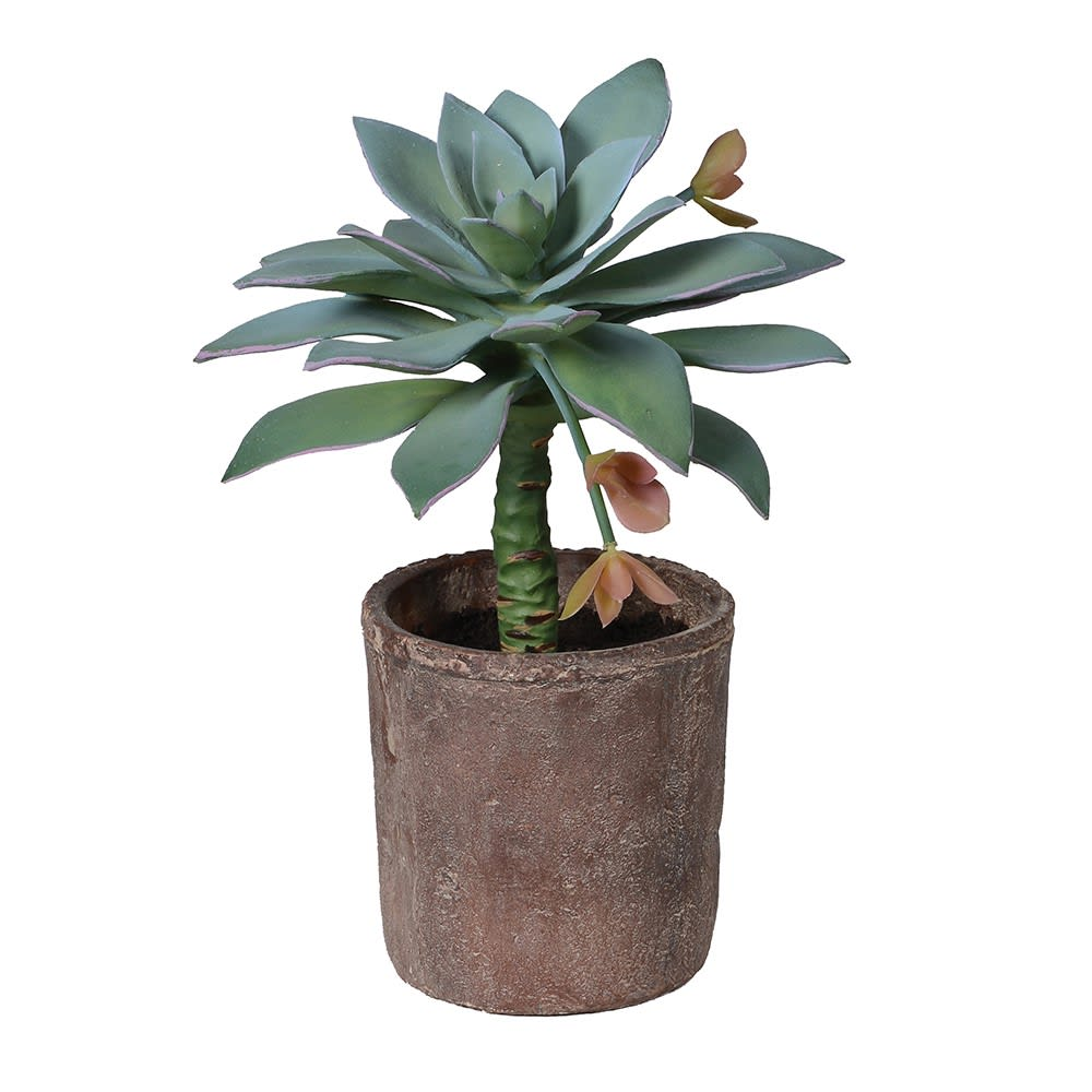 Soft Green Dudleya Anthonyi Potted Succulent in Terracotta Pot