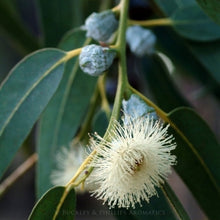 Load image into Gallery viewer, Eucalyptus Blue Mallee Essential Oil