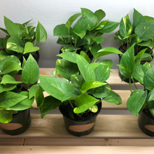 Load image into Gallery viewer, Hawaiian Pothos