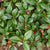 Wintergreen essential oil (gaultheria procumbens L)