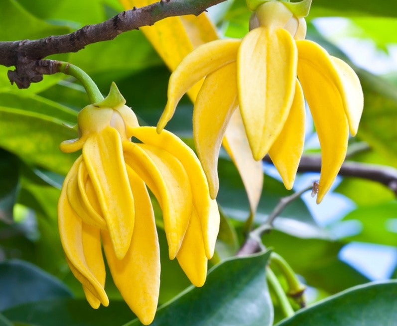 Ylang Ylang essential oil third (cananga odorata v genuina)