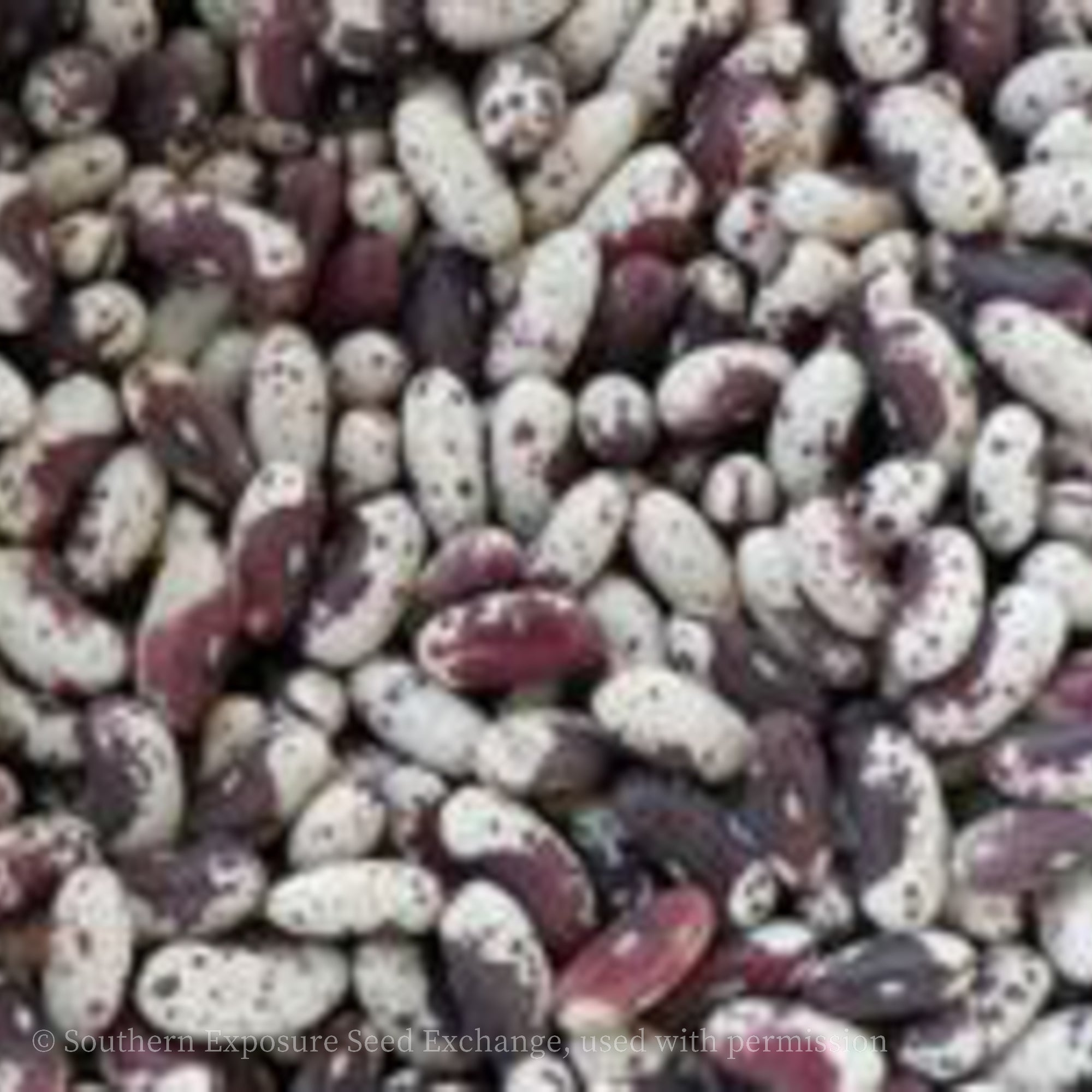 Jacob's Cattle Bean