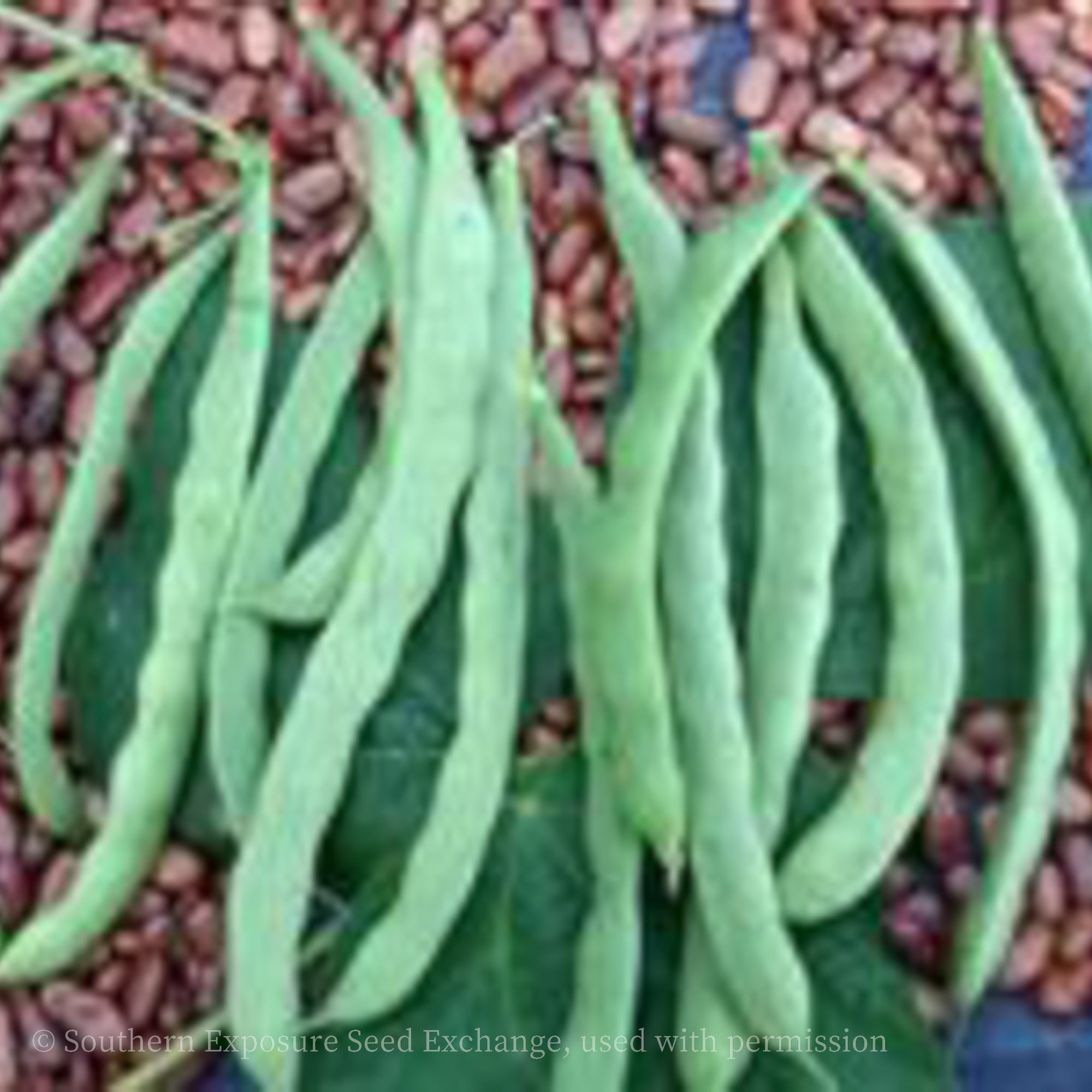 Kentucky Wonder (Old Homestead) Pole Snap Bean