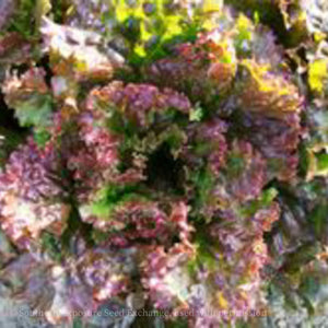 Red Sails Lettuce