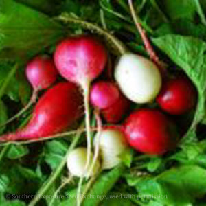 Easter Egg Radish Mix