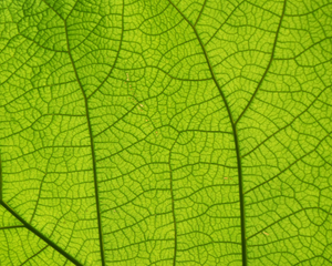 Close up of leaf showing veins