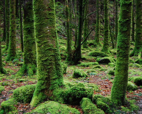 Moss-covered trees in a forest