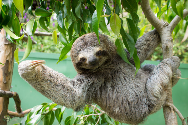 THREE FINGERED SLOTH