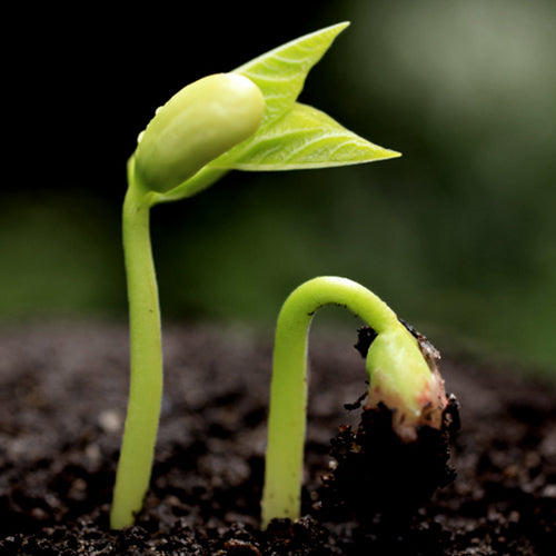 Pea Sprout