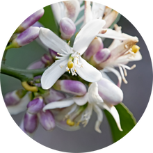 Load image into Gallery viewer, Neroli Grapefruit Blossom Essential Oil