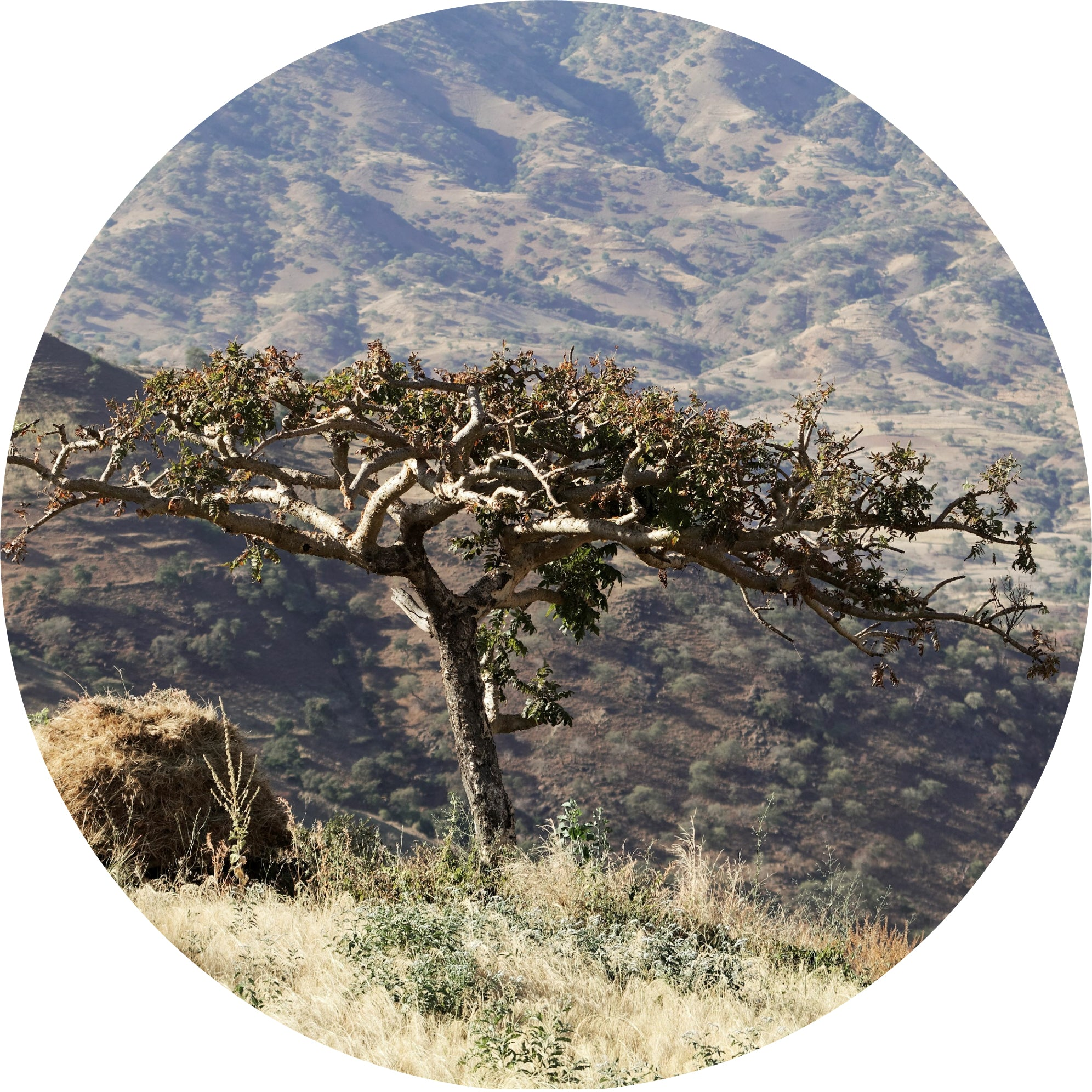Frankincense, Tigray Essential Oil