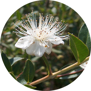 Myrtle, Anise Essential Oil