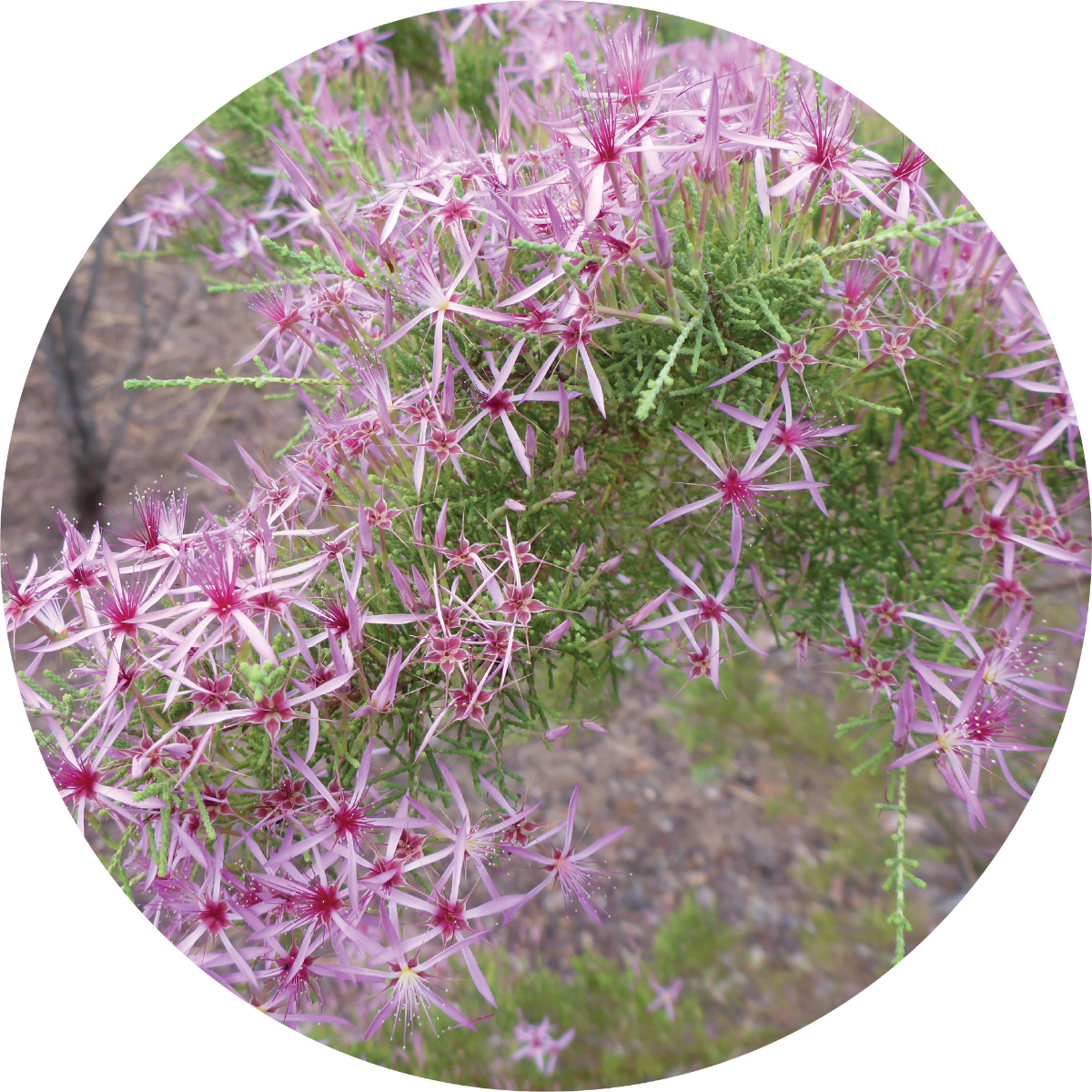 Australian Heather Essential Oil