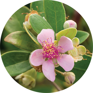 Australian Rose Essential Oil