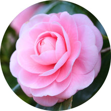 Load image into Gallery viewer, Camellia Carrier Oil