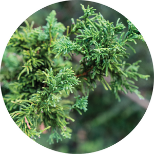 Cypress, Hinoki Essential Oil