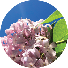 Load image into Gallery viewer, Lilac Essential Oil
