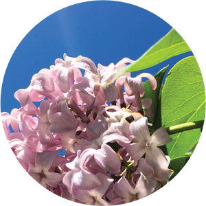 Lilac Essential Oil
