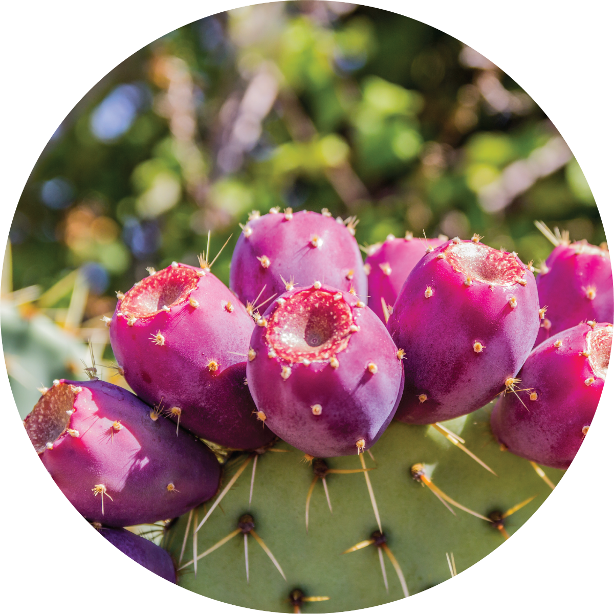 Prickly Pear Carrier Oil