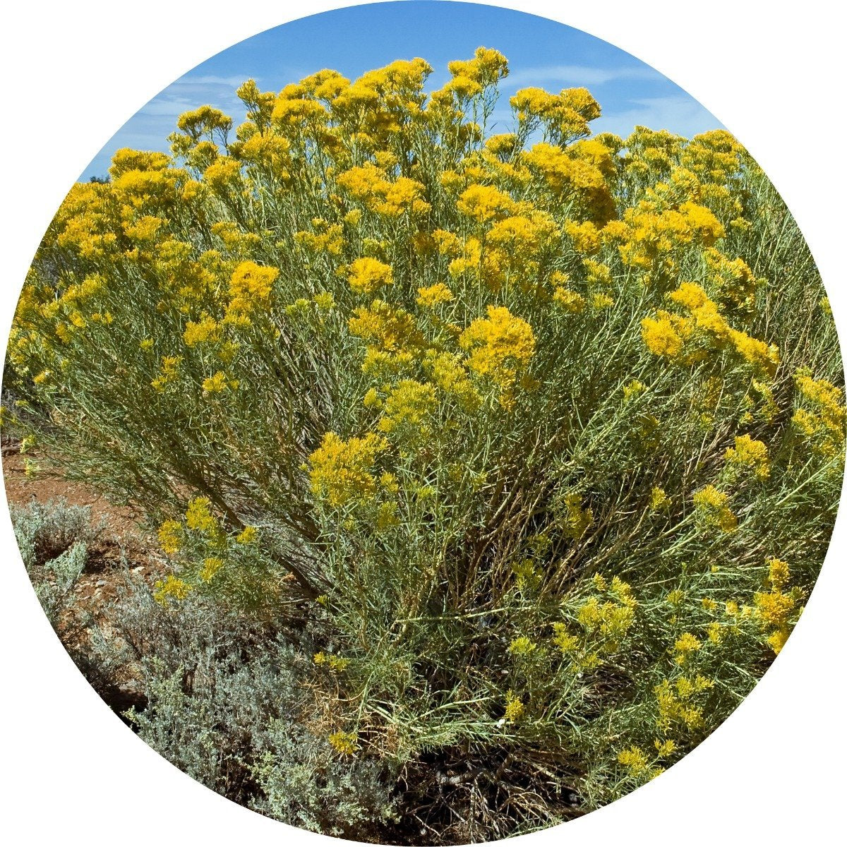 Rabbit Brush Essential Oil
