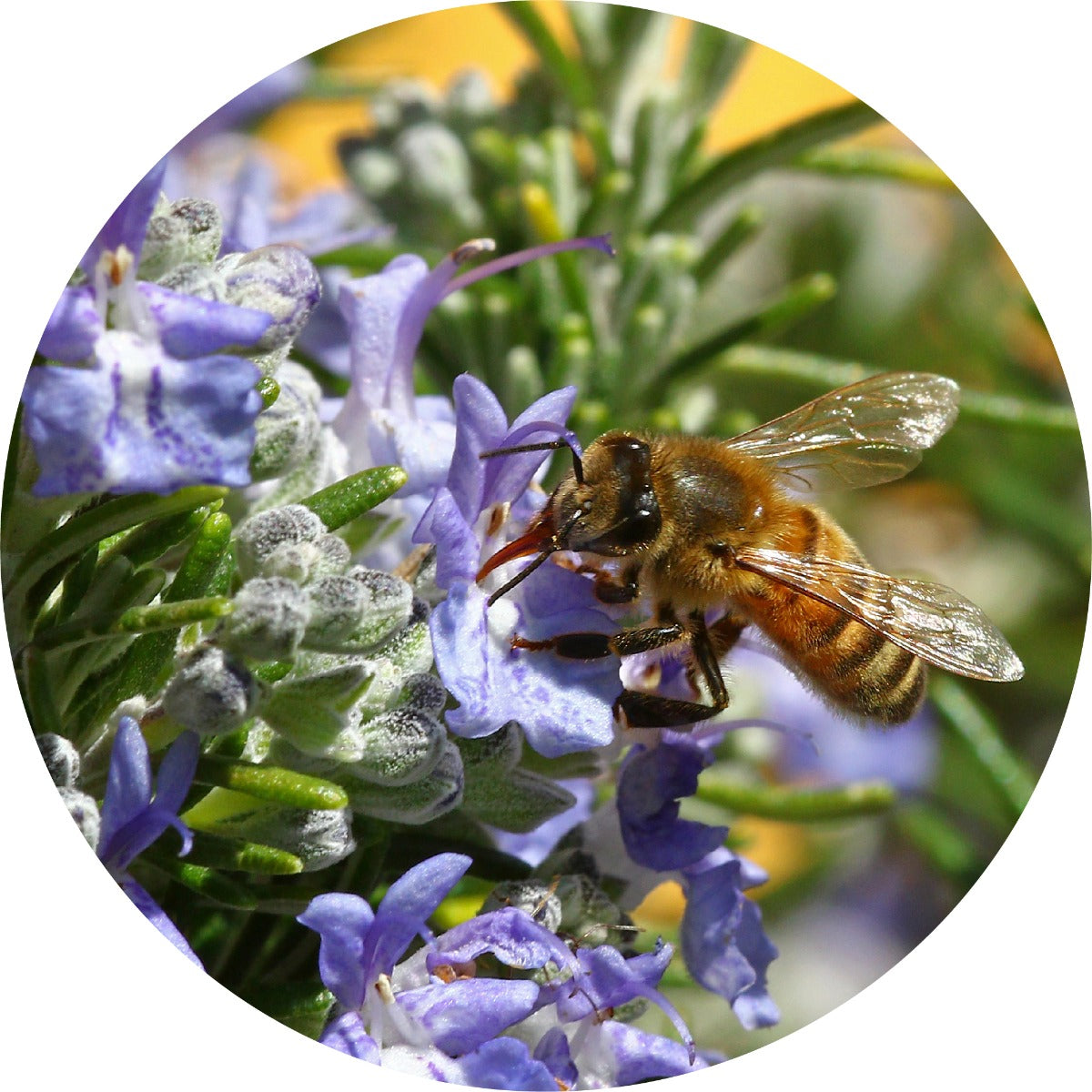 Rosemary Verbenone Essential Oil