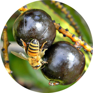 Saw Palmetto Berry Essential Oil