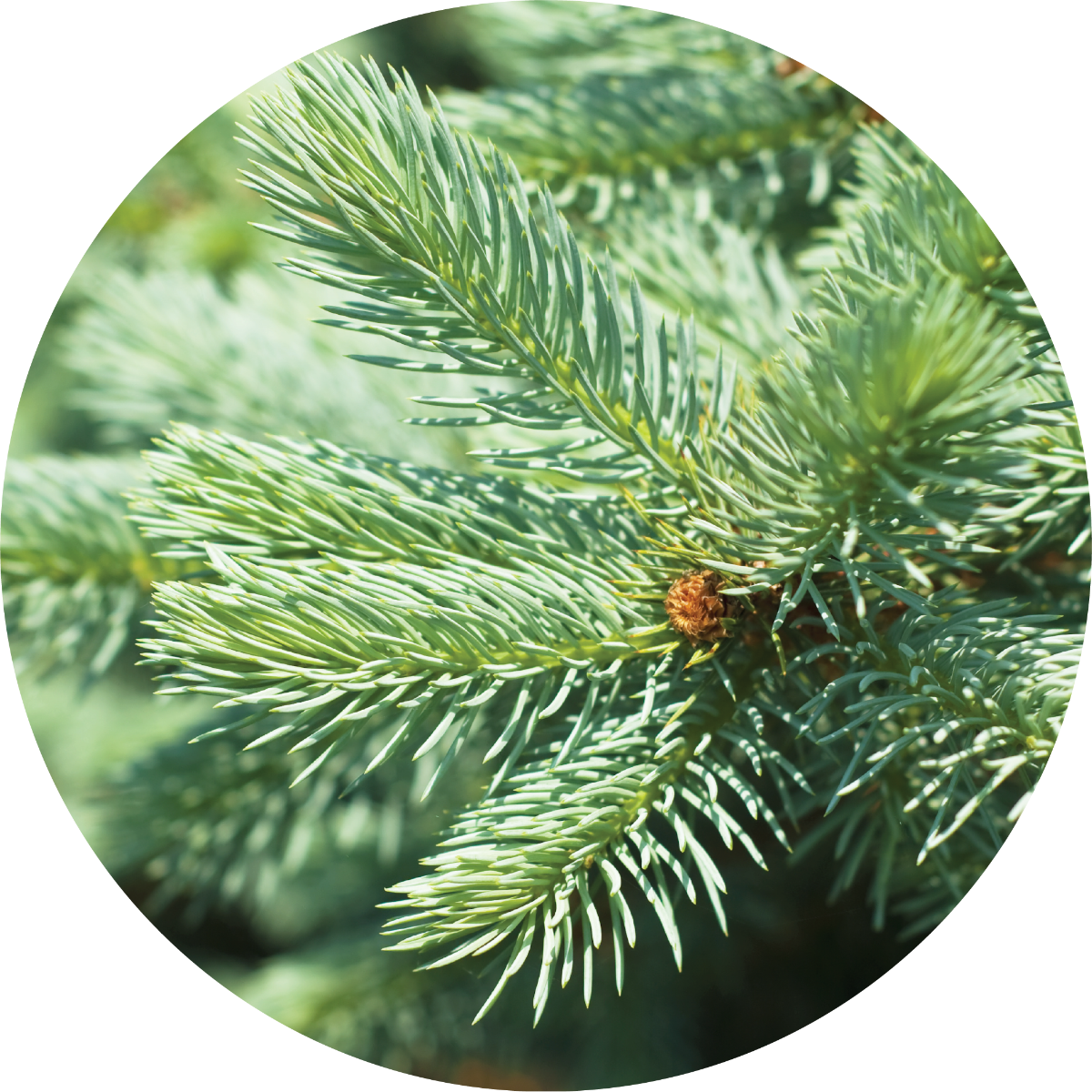 Fir, Silver Essential Oil