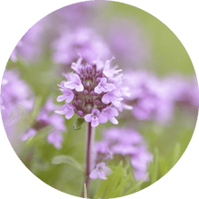 Load image into Gallery viewer, Thyme, Sweet Essential Oil