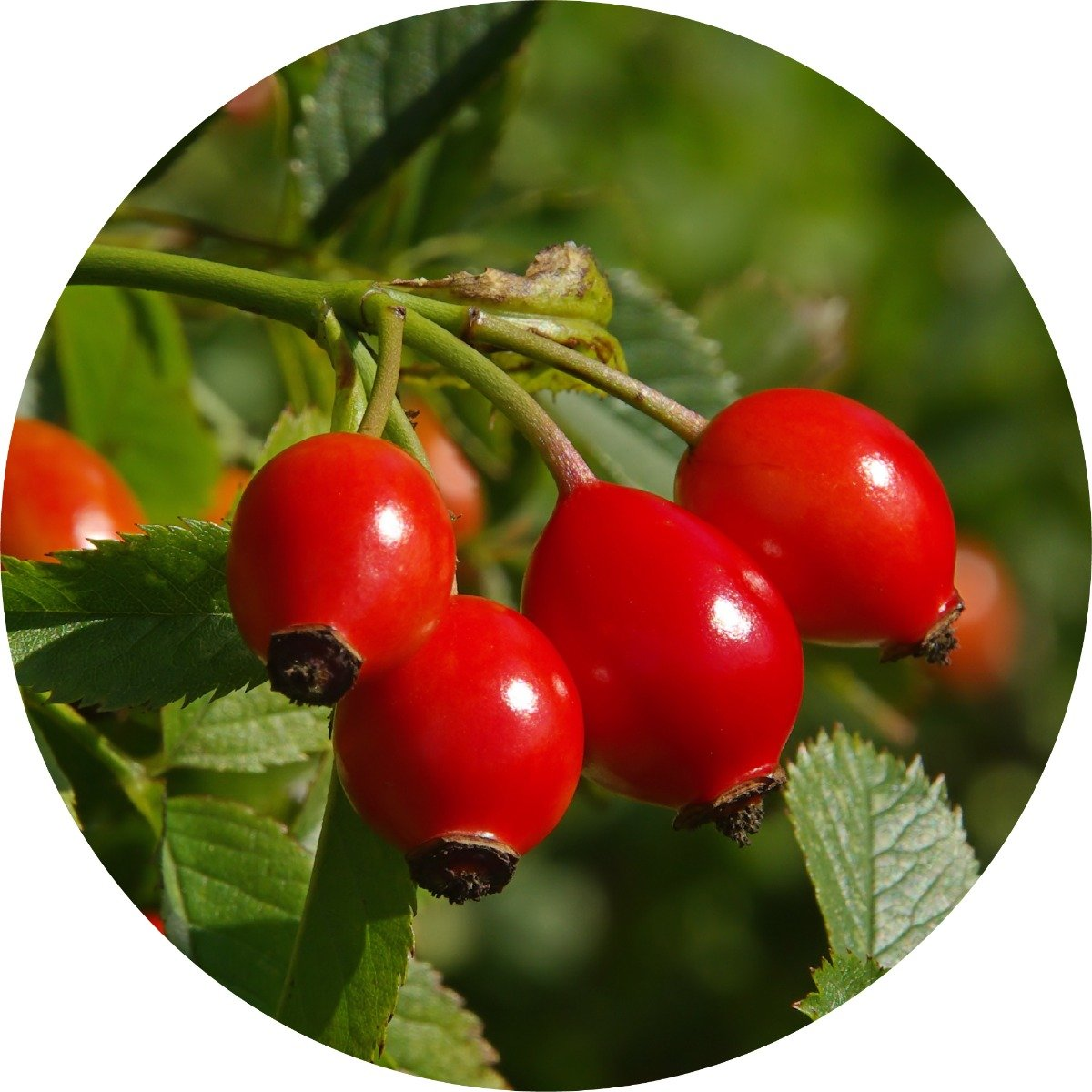 Wild Rosehips Carrier Oil