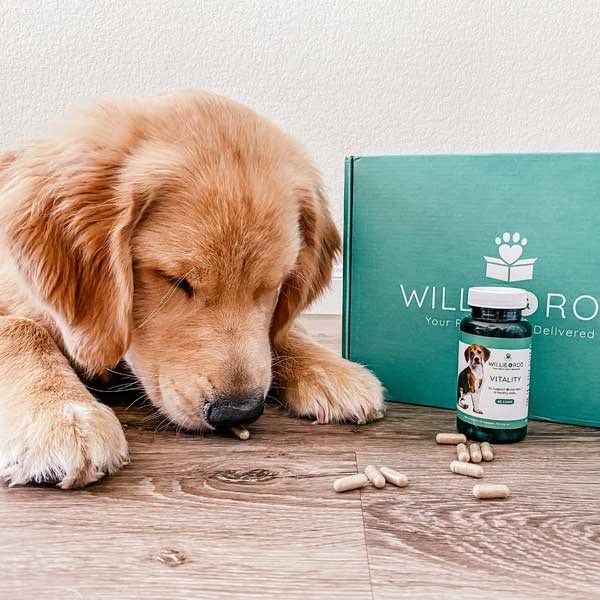 Golden Retriever puppy laying down next to an unopened Willie & Roo box. There is also a Vitality supplement bottle and the puppy is sniffing one of the 10 supplement capsules scattered on the floor.