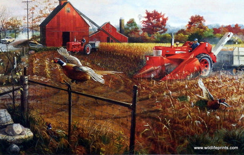 Charles Freitag red tractor and Farmall flushes pheasants in a corn field