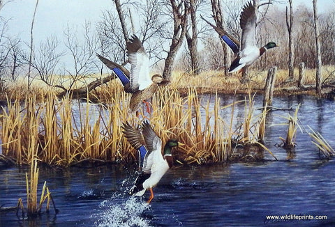 Richard Plasschaert Backwater Mallards
