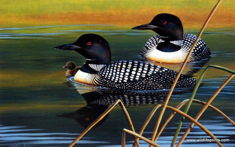 Cynthie Fisher Loon Picture Calm Reflections